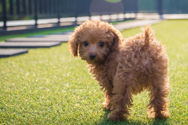 a little baby poodle